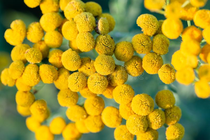 El cierre encima de las pequeñas flores redondas amarillas y de la hierba verde borrosa está como fondo fotografía de archivo