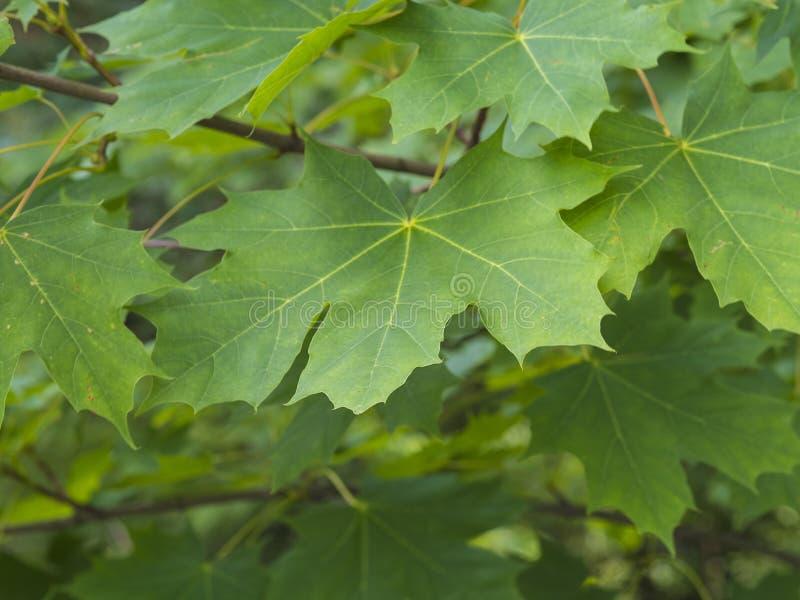 El cierre encima del árbol de arce verde deja el fondo natural fotografía de archivo libre de regalías