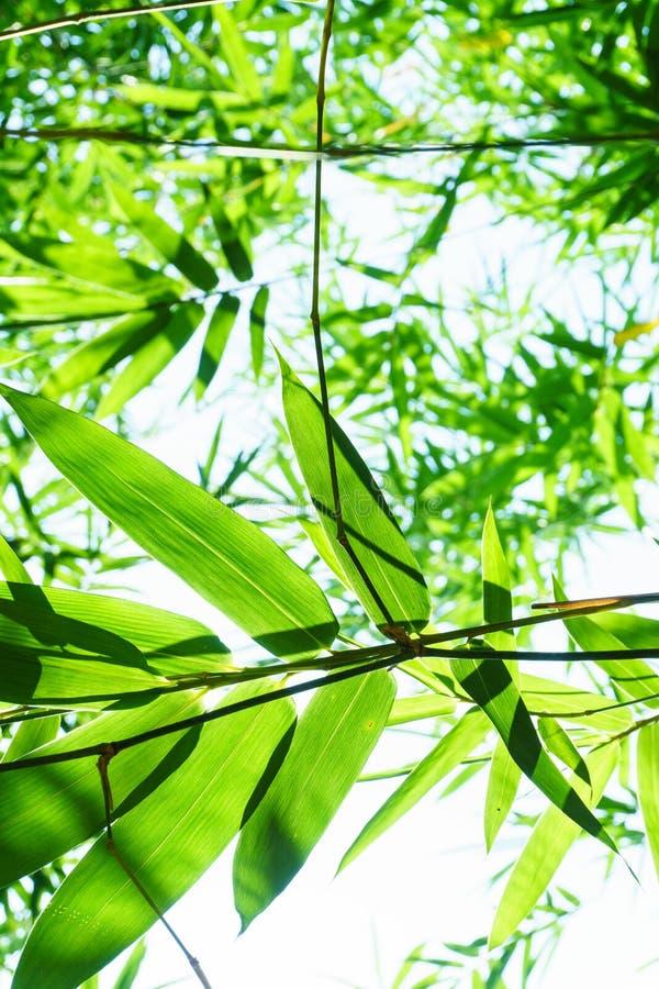 El cierre encima del bambú deja verde plantado en el jardín, HAYA del BAMBUSA imágenes de archivo libres de regalías