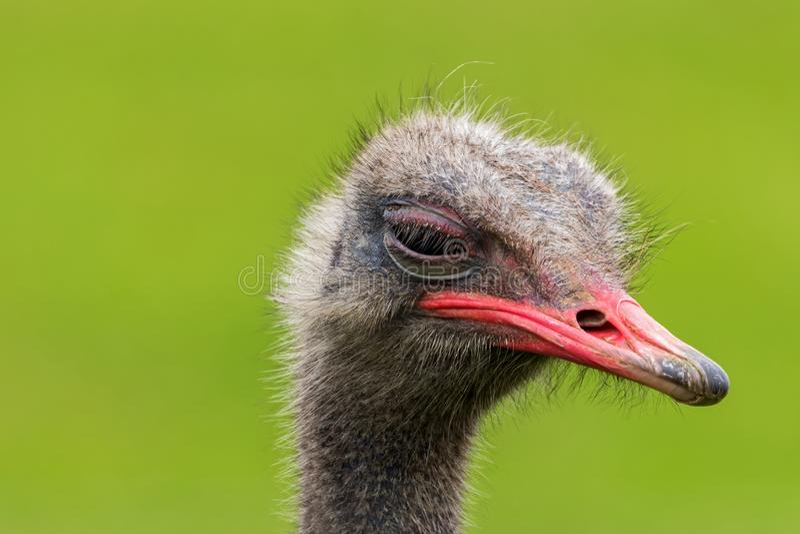 El cierre enojado de la avestruz encima del retrato, se cierra encima de camelus del Struthio de la cabeza de la avestruz imagen de archivo libre de regalías