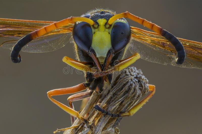 el cierre extremo para arriba de la avispa amarilla fotografía de archivo