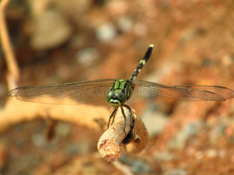 El cierre hermoso encima de la foto de la libélula se encaramó en la rama de la raíz imagen de archivo