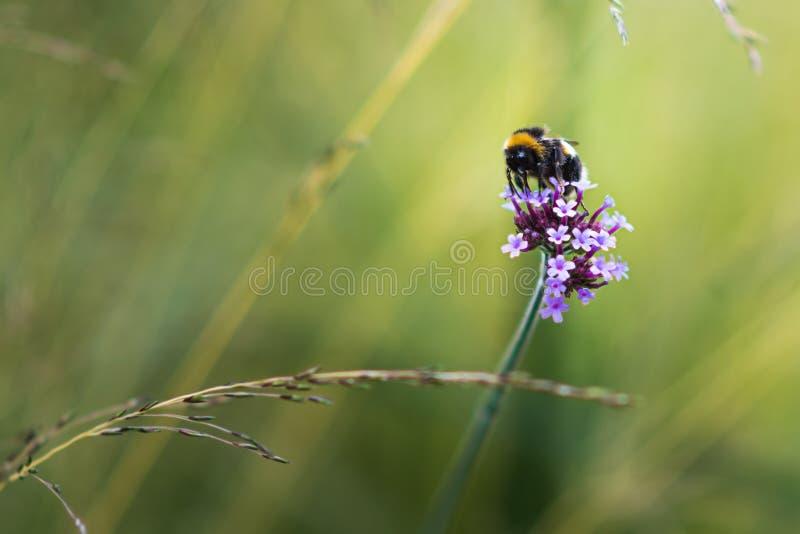 El cierre hermoso para arriba del manosea la abeja sentada en una flor rosada brillante contra hacia fuera borroso un fondo del v fotografía de archivo