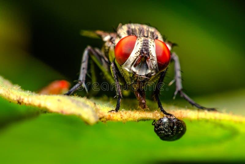 El cierre macro para arriba del insecto, vuela comiendo la comida en las hojas imagenes de archivo