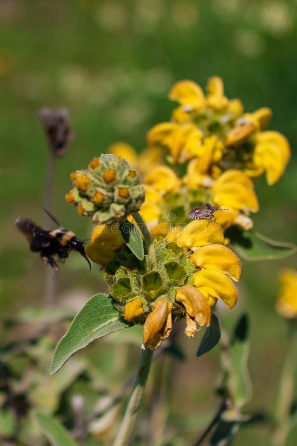 El cierre para arriba de un escarabajo de la flor en un Wildflower los momentos antes de una avispa europea grande se acerca fotografía de archivo libre de regalías