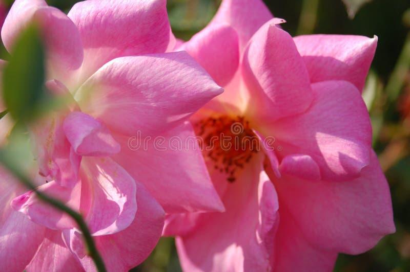 El cierre para arriba hace frente de dos flores rosadas imágenes de archivo libres de regalías