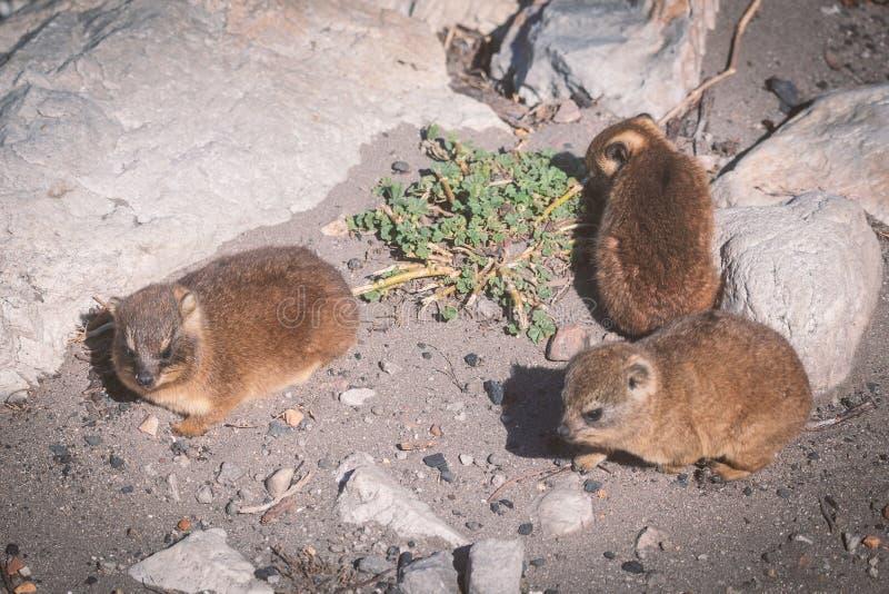 El cierre para arriba tiró de hyraxes de una roca de tres bebés foto de archivo libre de regalías