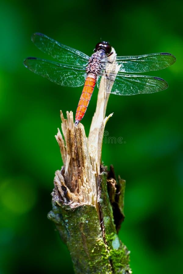 El cierre para arriba tiró de una libélula fotos de archivo