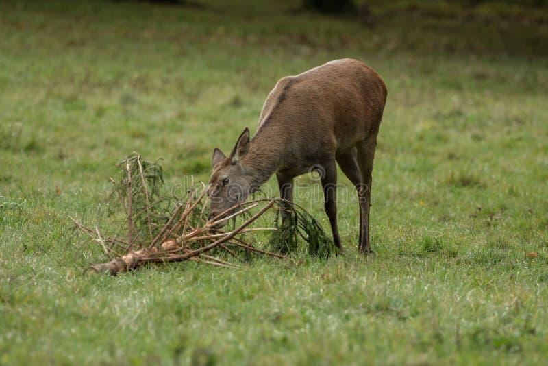 El ciervo come ramas en el prado verde foto de archivo libre de regalías