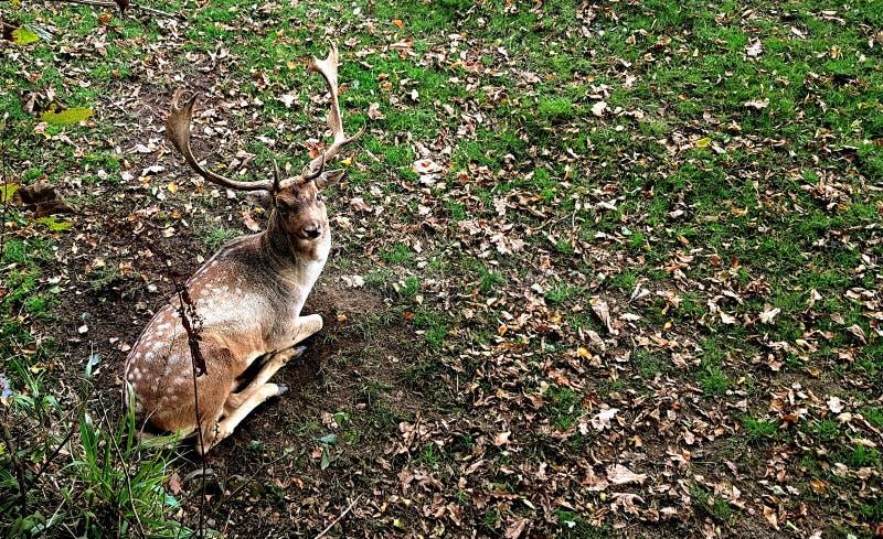 el ciervo en barbecho en el lugar de Prideaux es probablemente una de las manadas más viejas del parque del país foto de archivo libre de regalías