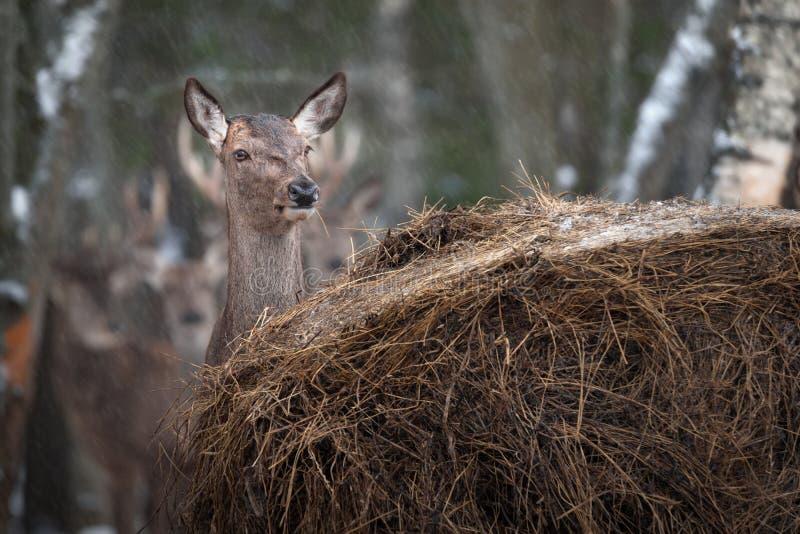 El ciervo femenino alerta hermoso mastica una pila amarilla seca de Straw And Hides Behind A de nevadas del invierno de Hay Durin imagen de archivo