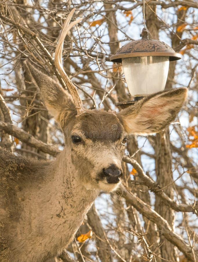 El ciervo presumido limpia el alimentador del pájaro y es muy orgulloso imagenes de archivo