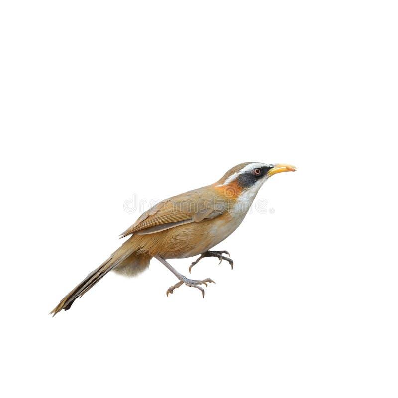 el Cimitarra-charlatán Blanco-cejudo, pájaro y se calienta fotos de archivo libres de regalías