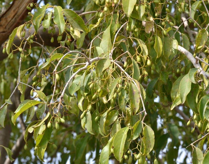 El ciruelo de Java/árbol del ciruelo del ciruelo/de ciruela damascena del negro (cumini de la sizigia) con la O.N.U maduran las fr imagenes de archivo