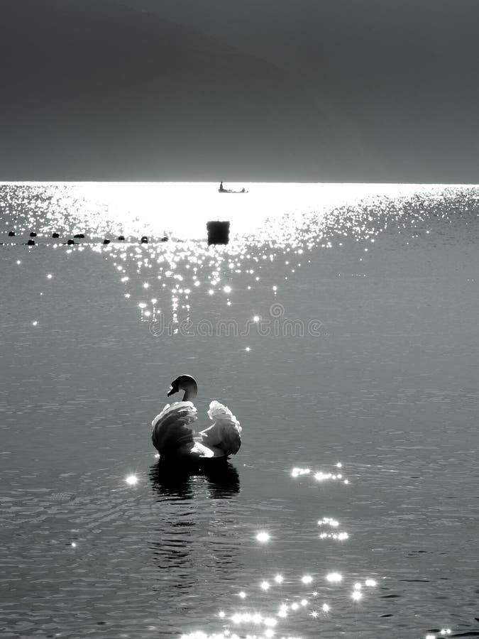 El cisne foto de archivo