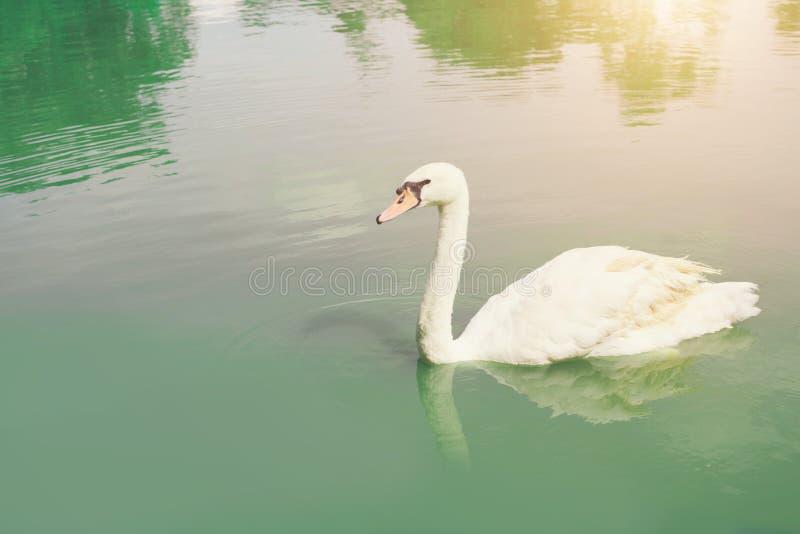 El cisne agraciado que flota en la cacerola, vierte el lago del verde esmeralda imagen de archivo libre de regalías