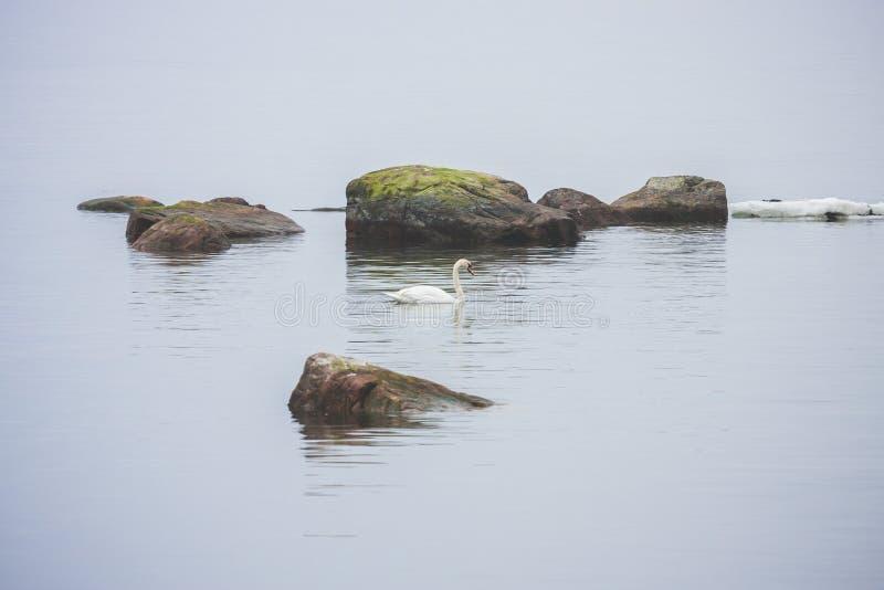 El cisne blanco nada en el mar Báltico fotografía de archivo