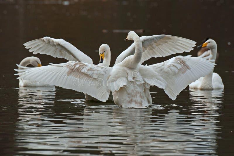 El cisne de whooper, cygnus del Cygnus foto de archivo libre de regalías