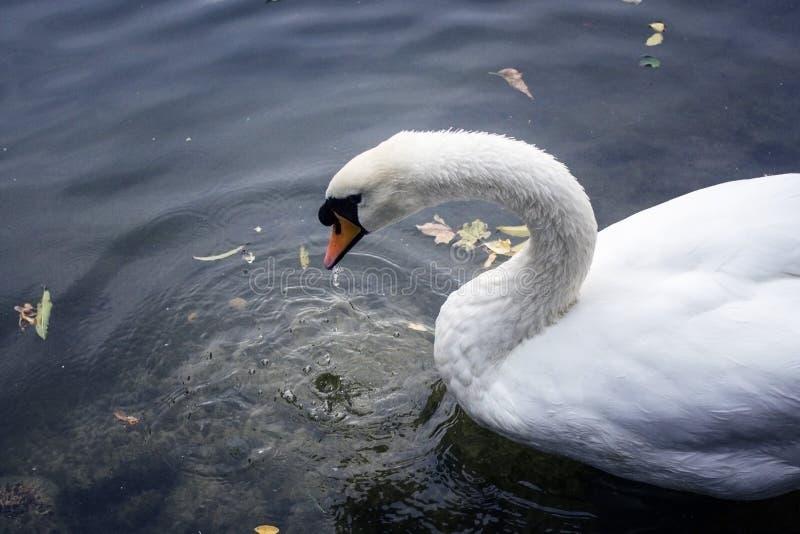 El cisne en las bebidas del parque riega cierre para arriba imagen de archivo