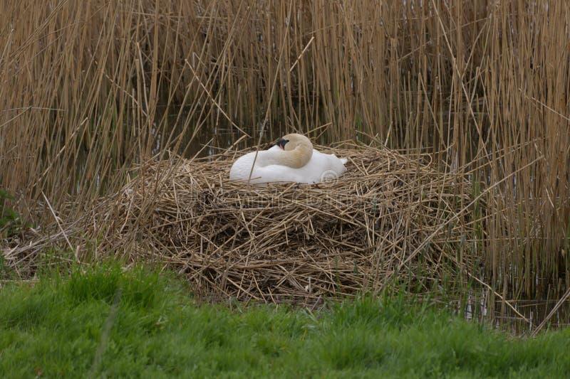 El cisne femenino se sienta en una jerarquía en los huevos fotografía de archivo libre de regalías