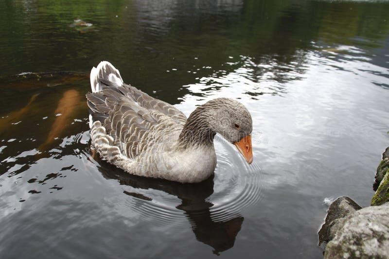 El cisne hermoso imagen de archivo
