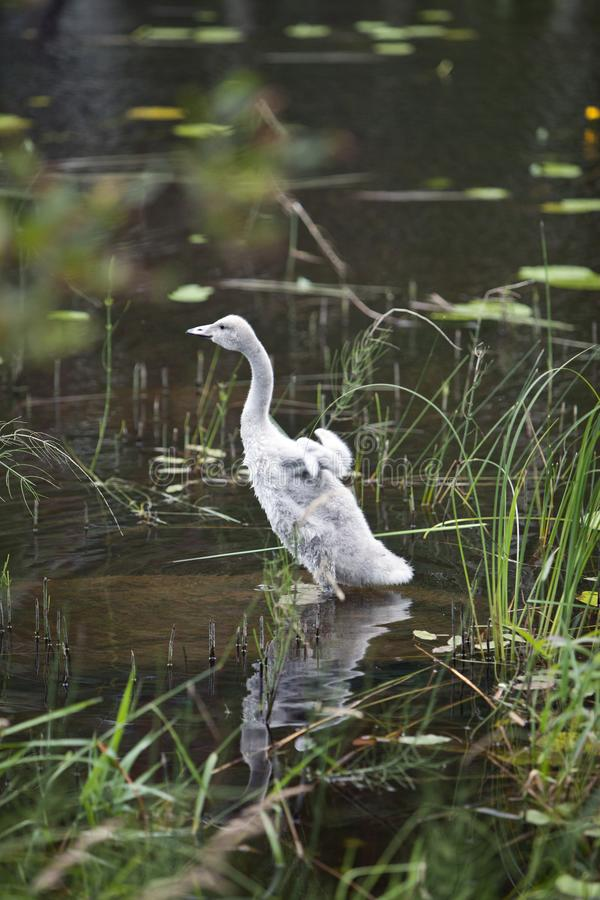 El cisne joven en el banco del lago fotografía de archivo