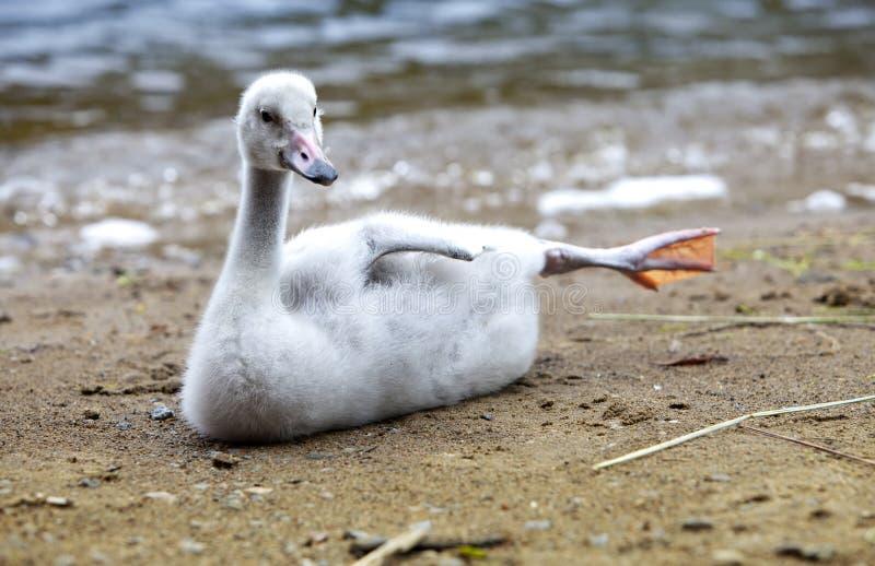 El cisne joven en el banco del lago foto de archivo