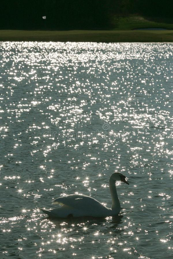 El cisne nada en el lago en medio de un campo de golf con una bandera foto de archivo