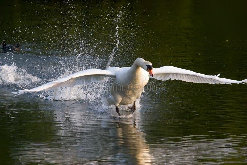 El cisne saca imágenes de archivo libres de regalías