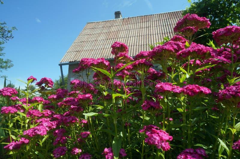 El clavel rosado florece cerca de hogar rural fotos de archivo