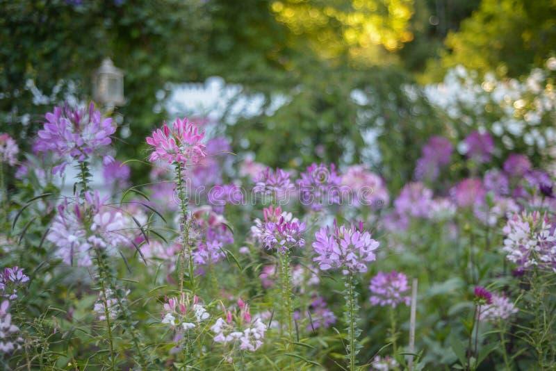 El Cleome de la lavanda, blanco y púrpura florece en una costa de Nueva Inglaterra imagen de archivo