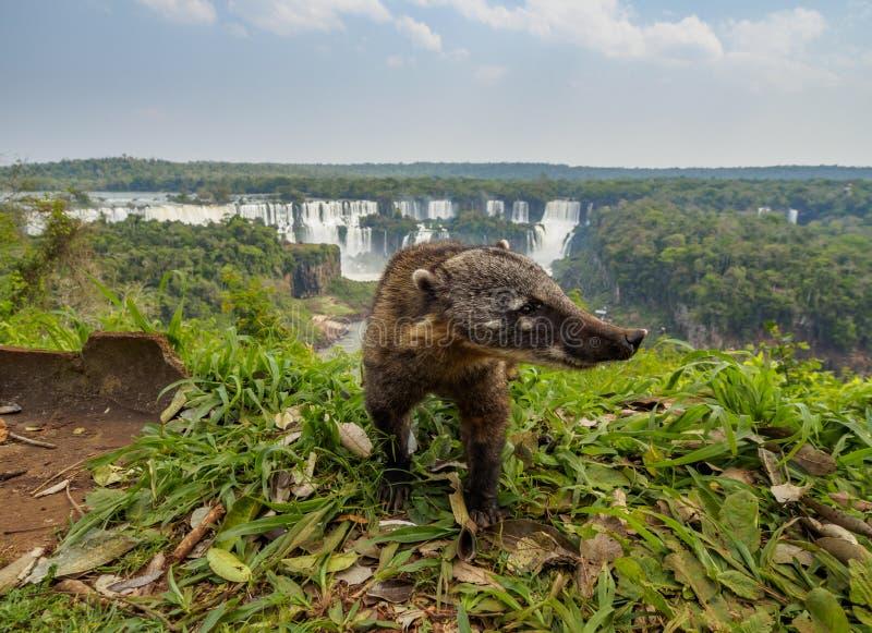 El Coati suramericano por el th Iguacu cae en el Brasil imagen de archivo