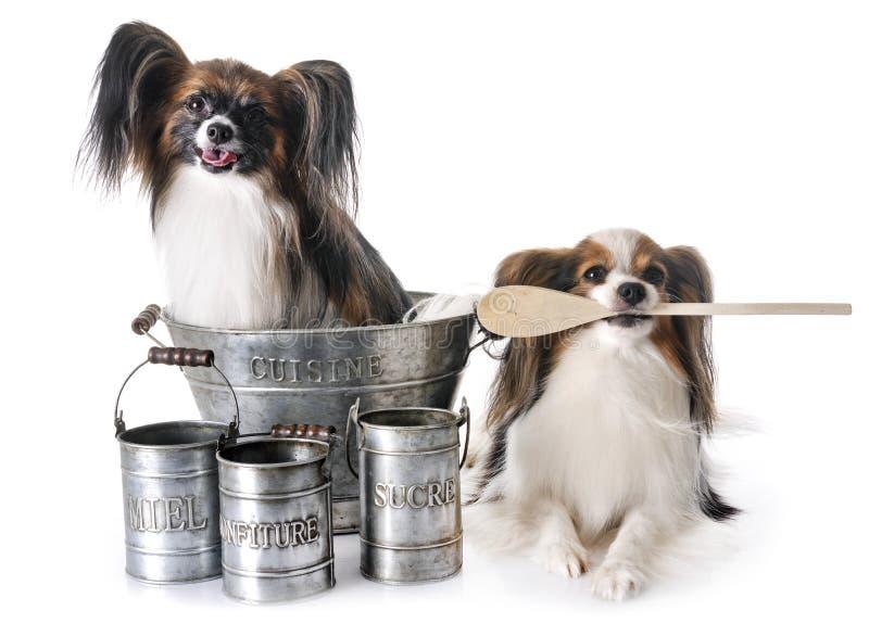 El cocinar de los perros de Papillon fotos de archivo