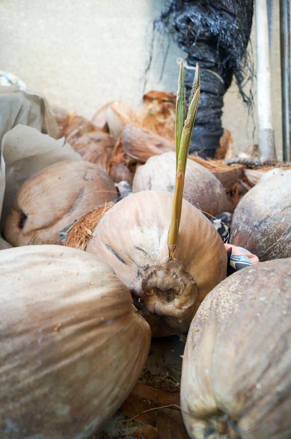El coco marrón está produciendo diferente otros cocos foto de archivo