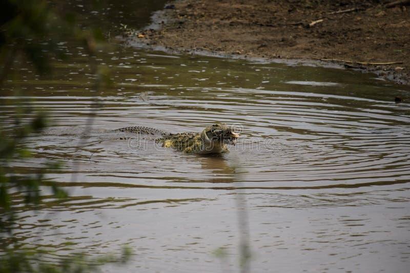 El cocodrilo coge la presa en la esquina de los ladrones, parque nacional de Kruger, S fotos de archivo libres de regalías