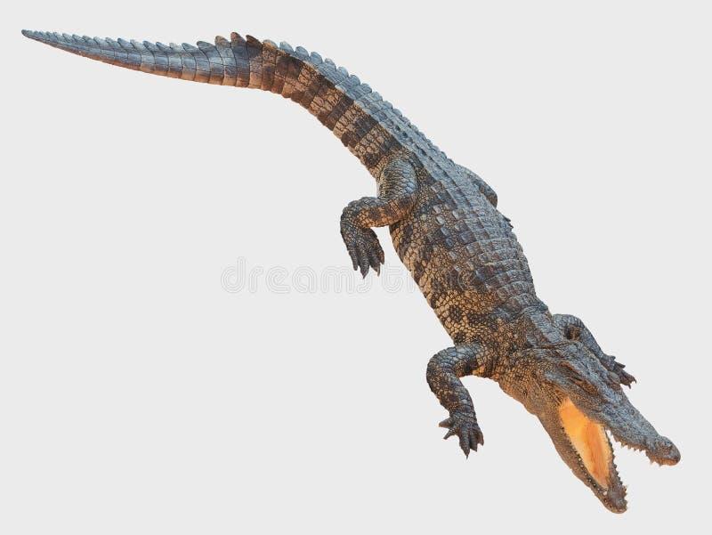 El cocodrilo que sube en el fondo blanco fotografía de archivo