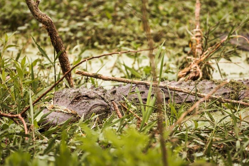 El cocodrilo salvaje Mississippiensis del cocodrilo americano sumergió a foto de archivo libre de regalías