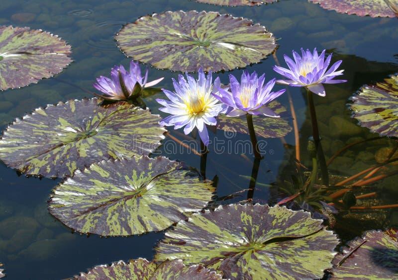 El cojín de lirio púrpura florece empujando sus cabezas sobre el maoron y las hojas varigated verde fotos de archivo libres de regalías