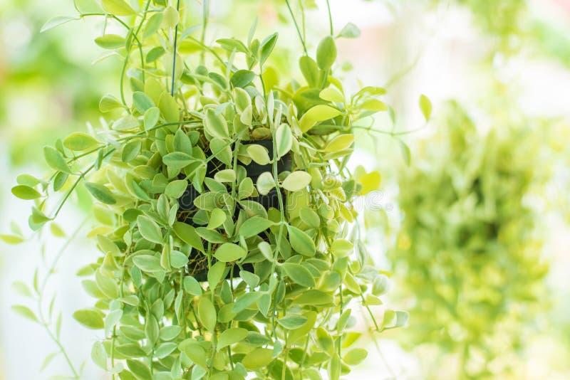 El colgante adorna las plantas verdes de la hiedra en el jardín imágenes de archivo libres de regalías