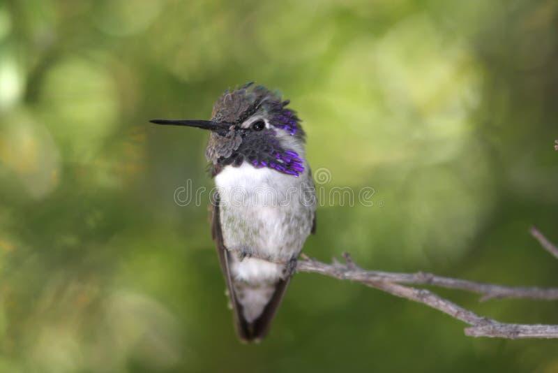 El colibrí de la costa masculina (costas de Calypte) fotos de archivo libres de regalías