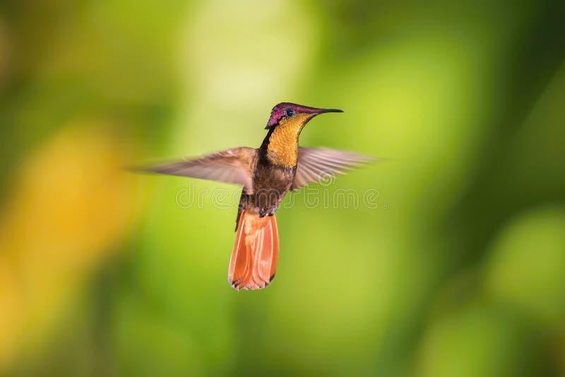 El colibrí del Ruby-topacio imagenes de archivo
