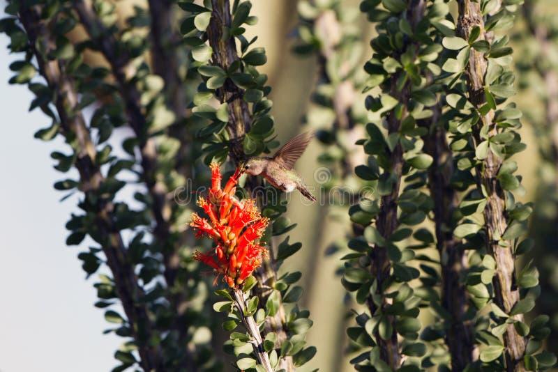 El colibrí del ` s de la costa alimenta en la flor roja de un cactus del Ocotillo con un Saguaro gigante en el fondo fotos de archivo