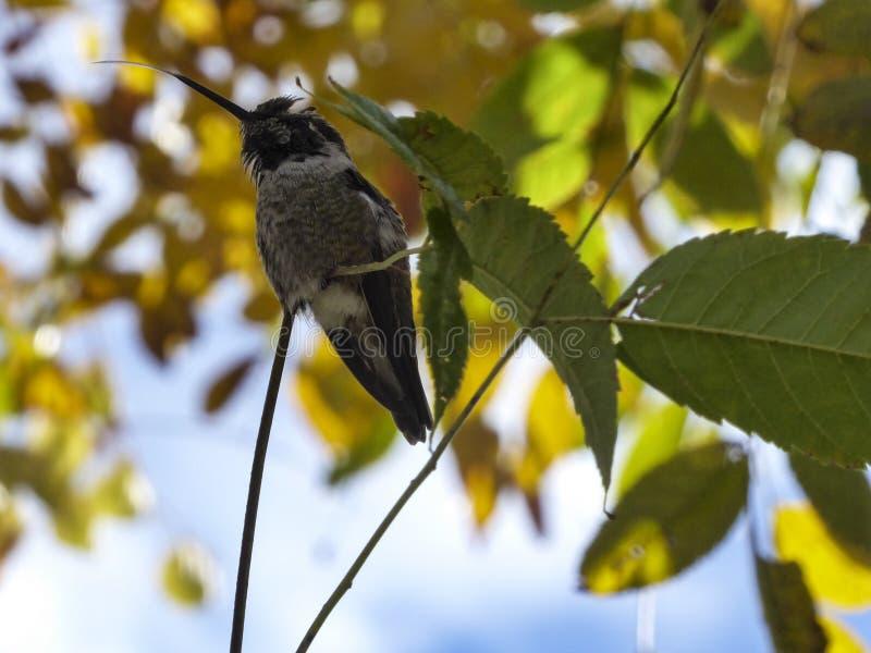 El colibrí pequeño se pega la lengua mientras está colgado con los colores de fondo de otoño. imagen de archivo