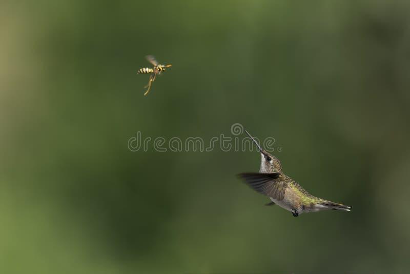 el colibrí Ruby-throated resuelve la avispa de la chaqueta amarilla fotografía de archivo libre de regalías