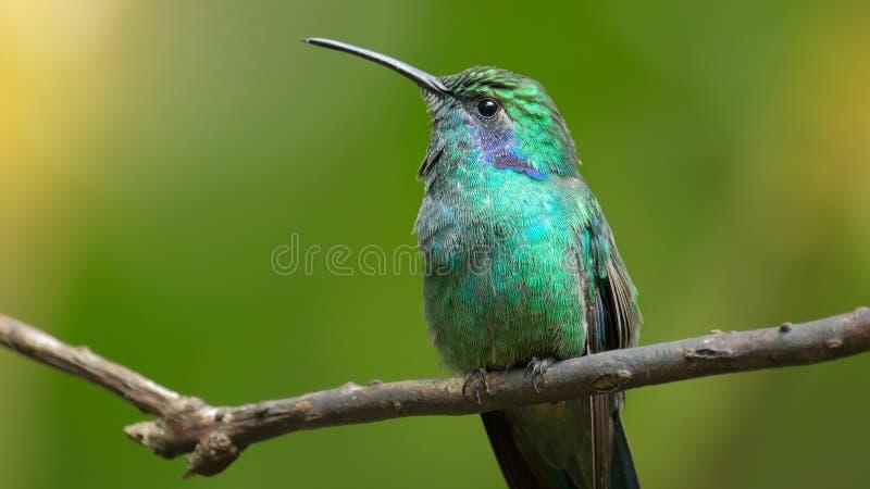 El colibrí se sienta en la rama de árbol foto de archivo libre de regalías