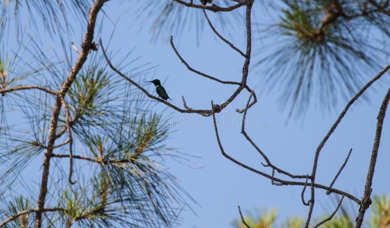 El colibrí se sienta en una rama de árbol fotografía de archivo libre de regalías