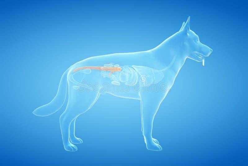 El colon canino ilustración del vector
