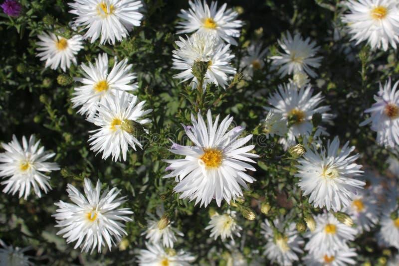 El color blanco de la manzanilla floreció en el jardín imágenes de archivo libres de regalías