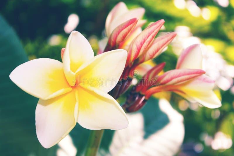 El color blanco y amarillo de la flor del Plumeria en verde de la falta de definición se va y fotografía de archivo libre de regalías