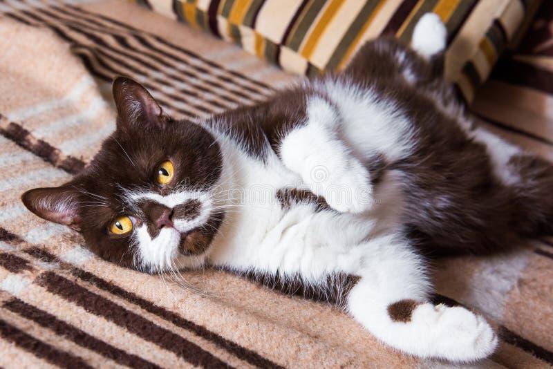 El color británico del chocolate del gato está mintiendo en una manta encima del vientre fotos de archivo libres de regalías